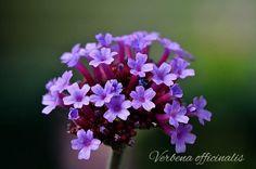 Verbena ou Vervain - Florais de Saint Germain e Bach