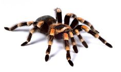 A red knee tarantula (Credit: Redmond Durrell/Alamy) Spider Phobia, Mexican Red Knee, Spider Eating, Get Rid Of Spiders, Big Spiders, Creepy, Scary, Spider Bites, Praying Mantis
