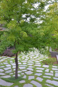 // Gleditsia triacanthos var. inermis 'Elegantissima'. Image supplied by Eckersley Garden Architecture