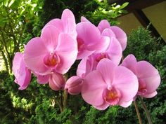 pink orchid - very nice1