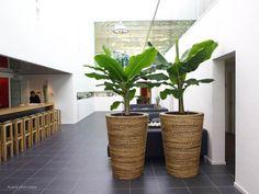 De bananenboom voor binnen, erg mooi