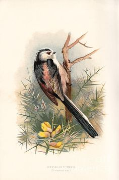 Illustration by A. Taken from 'Familiar Wild Birds' by W. Published 1883 by Cassell. University of California Libraries Vintage Bird Illustration, Black And White Illustration, Illustration Art, Illustrations, Vintage Birds, Vintage Prints, Wild Birds, Bird Prints, Natural History
