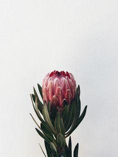 contamos mais sobre a Protea e sua origem na coluna Natureza em Casa (Foto: FLO Atelier Botânico) #protea