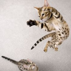 Airbourne cat.   by Mr. Flibble, via Flickr