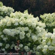 Panicle Hydrangeas - Reliable Blooms Every Year | Proven Winners