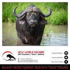 A large male buffalo enjoys cooling off in a mud wallow. African Buffalo, Private Games, Game Reserve, Cattle, Safari, Wildlife, Mud, Photographs, Tours