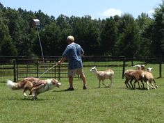 "Our Border collie ""Laddie"" herding sheep at Findley Vue Farm in Burlington NC"