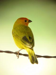 Sicalis flaveola / Canario coronado / Saffron Finch by felixú, via Flickr