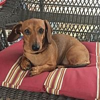 Pearland Texas Dachshund Meet Peanut A For Adoption Https Www Adoptapet Com Pet 27267216 Pearland Te In 2020 Dachshund Adoption Dachshund Rescue Puppy Adoption