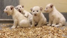 Toronto Zoo's Rare White Lion Cubs Are The Cutest Thing You'll See Today Rhino Animal, Toronto Zoo, Bear Cubs, Grizzly Bears, Tiger Cubs, Tiger Tiger, Bengal Tiger, Trail Of Tears, Lion Cub
