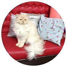 Star Dollface Percian Cat
