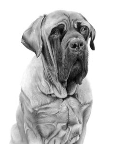 25 Beautiful Pencil Drawings from top artists around the world Hyperrealism Paintings, Beautiful Pencil Drawings, Puppy Breath, Graphite Art, Bristol Board, English Mastiff, Portrait Illustration, Dogs Of The World, Buy Prints