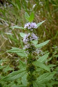 Wild Mint - Mentha arvensis - this is growing in our backyard.  I have a feeling that it will be rampant next year