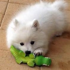Benji the Japanese Spitz Pictures 980691 Beautiful Dogs, Animals Beautiful, Cute Animals, Samoyed Dogs, Pet Dogs, Doggies, Japanese Spitz Puppy, Japanese Dog Breeds, Cute Puppies
