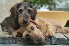 what a beautiful couple… #dachshund