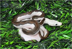 pied retic Reticulated Python Morphs, Ball Python Morphs, Pretty Snakes, Beautiful Snakes, Cute Reptiles, Reptiles And Amphibians, Retic Python, Snake Enclosure, Snake Images