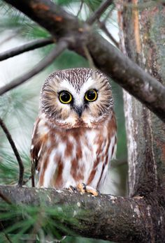 It's all comes down to simplicity — peregrineinastoop: Northern Saw-whet Owl by...