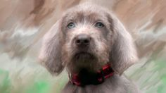 Anya at 8 weeks old Slovakian Rough Haired Pointer