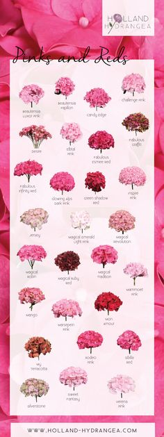 Beautiful Pinks and Reds | Holland Hydrangea: share the beauty of Dutch Hydrangea! | www.holland-hydrangea.com
