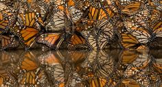 Monarch butterflies gather to drink water in Michoacan, Mexico.