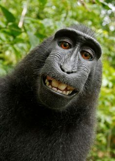 A macaque monkey takes a selfie on the Indonesian island of Sulawesi with a camera owned by British nature photographer David Slater. (Photo by Naruto the Macaque/David Slater/PETA/AP) Primates, Baby Animals, Funny Animals, Cute Animals, Smiling Animals, Wild Animals, Animals Images, Nature Animals, Funny Animal Humor