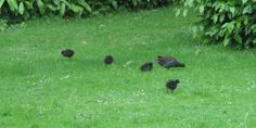 These Moorhen chicks have been spotted by at Hanbury Hall, Worcestershire 29 May 2014