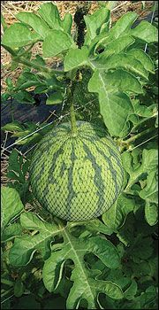 Everything you ever wanted to know about growing melons and caring for melons. Read this and grow the best melons ever. Great article.