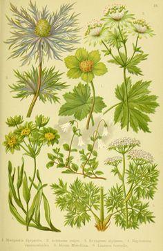 Alpen-Flora für Touristen und Pflanzenfreunde Stuttgart :Verlag für Naturkunde Sprösser & Nägele,1904. biodiversitylibrary.org/page/10384056