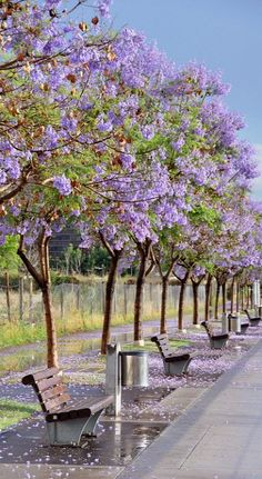 Jacarandas in Puerto, Buenos Aires, Argentina (by Mikey... on Flickr)