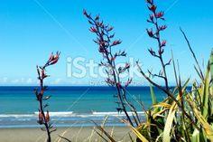 New Zealand Flax and Seascape Royalty Free Stock Photo New Zealand Flax, Kiwiana, Native Plants, Beach Photos, Image Now, Flora, National Parks, Scenery, Royalty Free Stock Photos