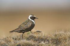 Audubon Alaska
