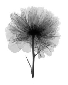 x-ray of peony - Google Search