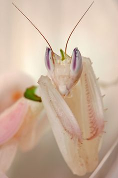 Orchid mantis  I so want one!