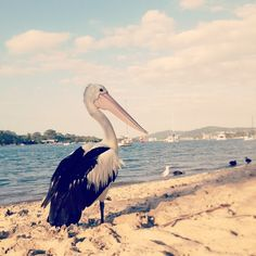 One of the great things about living in Noosa... Pelican action.