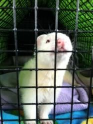 Vale is an adoptable Ferret Ferret in Boalsburg, PA. VALE (5/3/2009) is a sweet dark eyed white hob. He came to the PFRA after being passed around from at least 2 other homes. They could not afford a vet (he was having some insulioma episodes) so they agreed to surrender him to us.  Once he was started on his twice daily prednisone, he has had no further problems.  He will need to be on this medical for the rest of his life.  Vale is a sweet boy who gives kisses & loves people.