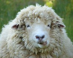 Wooly Sheep Photograph  - Wooly Sheep Fine Art Print