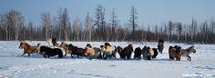 One day with Yakut horses, breeders & of trekking near Yakutsk, Siberia/Russia Wild Horses Running, Siberia Russia, Cute Ponies, Horse World, Horse Photography, Horse Breeds, Beautiful Horses, Trekking, Pony
