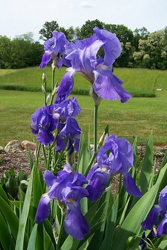 My father planted a border of purple Iris in our yard when I was little girl.  nice memory.
