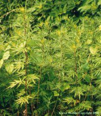 Mugwort:  An infusion of the leaves & flowering tops is used in the treatment of the digestive system, it increases stomach acid and bile production, eases gas and bloating, improving digestion, the absorption of nutrients and strengthening the entire digestive system. It is used in alternative medicine to expel intestinal worms, nervous and spasmodic affections, asthma, sterility, functional bleeding of the uterus and menstrual complaints, and diseases of the brain.