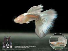 fwguppies1456884947 - ATFG's RREA WHITE TAIL TUXEDO HTD PAIR