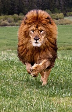 gorgeous lion