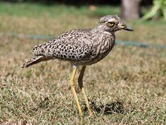 Spotted Thick-knee aka  Spotted Dikkop (Burhinus capensis) by Dick Daniels.