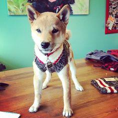 Our customer, Jett. Shiba Inu. Woof!