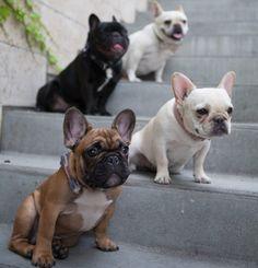 French Bulldogs, @WTFrenchie, www.wtfrenchie.com