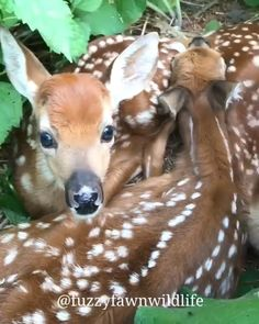 my husband & i stopped by a field, while out on his motorcycle one day – ta grab a drink & a seat – all of sudden he started walking accross the feild, 250 yrds away he bends down & scoops up a baby deer, no bigger than these guys… he held it up a […] Cute Creatures, Beautiful Creatures, Animals Beautiful, Beautiful Things, Cute Funny Animals, Cute Baby Animals, Animals And Pets, Animal Pictures, Cute Pictures