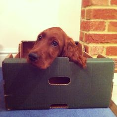 chillin' in da box. My irish setter slept in a box when she was a puppy too! <3