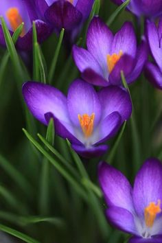 Crocus Vividus Photograph by Shari Jardina - Crocus Vividus Fine Art Prints and Posters for Sale Amazing Flowers, Purple Flowers, Spring Flowers, White Flowers, Beautiful Flowers, Flower Meanings, Color Meanings, Cactus Y Suculentas, Flower Photos