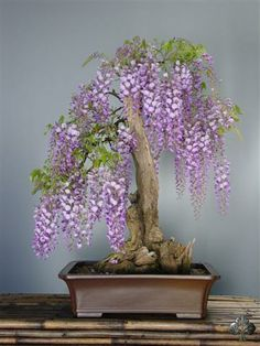 Wisteria bonsai picture; age of tree: 20 years, height: 107 cm, base of trunk…