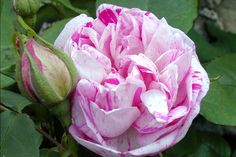 Rosa 'Honorine de Brabant'.Rose ancienne Bourbon