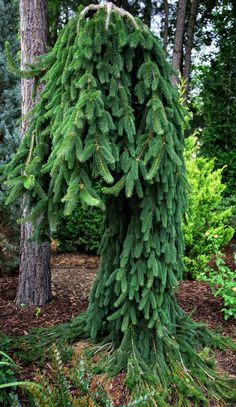 Majestic 'Frohburg', use this in my front yard landscaping. Garden Shrubs, Garden Trees, Garden Plants, Weeping Norway Spruce, Weeping Trees, Picea Abies, Evergreen Garden, Baumgarten, Garden Nursery